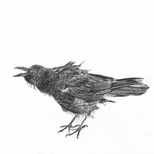 AB Squawking crow Graphite 10 x 12